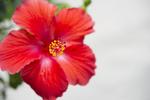 Red Flower - 3