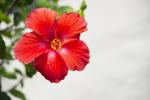 Red Flower - 4